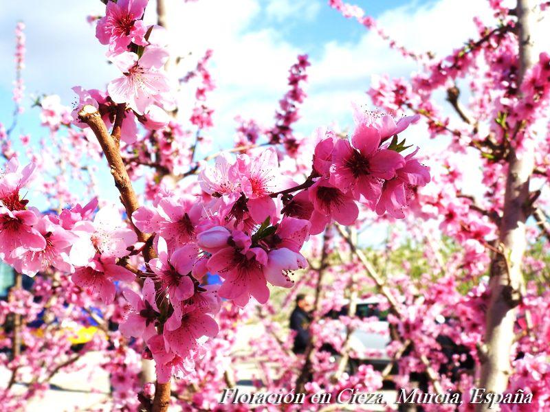 Floración en Cieza